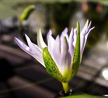Water Lily by sedge808