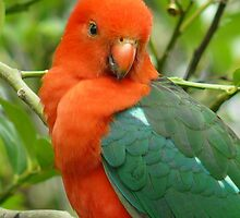 Australian King Parrot - Close Up by Margaret Stockdale