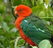Fluffy King Parrot by Margaret Stockdale