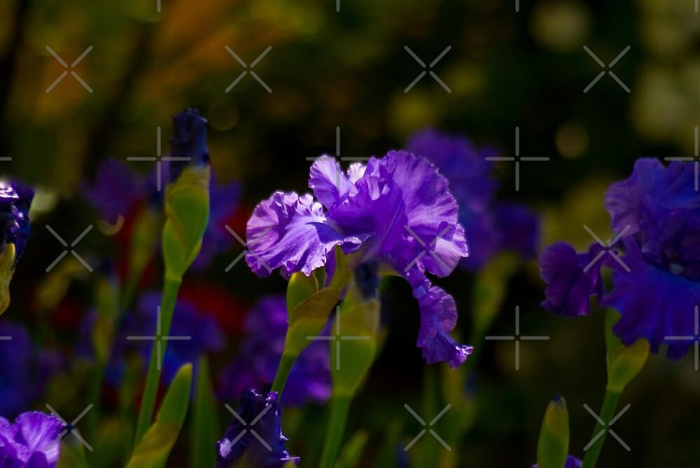 Gladioli Garden by Deborah McGrath