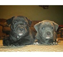 pit bull babies Photographic Print