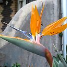 Bird of Paradise Plant by skyhorse