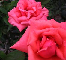 Some of the lovey roses in mums garden by KatieLee648
