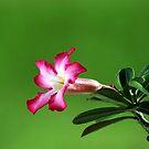 DESERT ROSE by TomBaumker