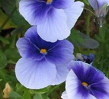 Light Blue Pansies by art2plunder