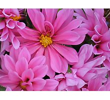 Pink Dahlias Photographic Print