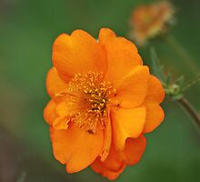 Orange Rose by Rodney55