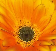 gerbaries yellow 3 by Rodney55