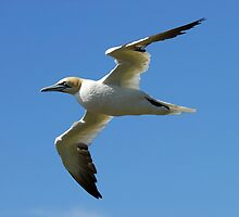 Northern Gannet by DebYoung