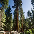 Mariposa Grove by Michael Treloar