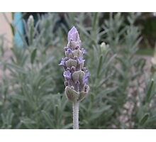 Lavender bud Photographic Print