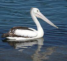 Pelican in River, Nambucca, N.S.W. Australia. by Mywildscapepics