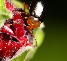Hibiscus Beetle eating by PurelyPrime