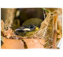 Ready to Fly - honey eater chick Poster