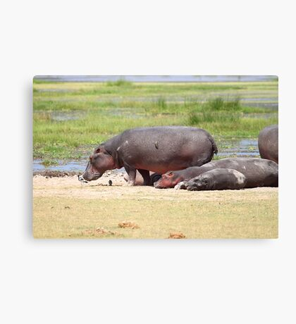 Hippopotamus, Kenya  Canvas Print