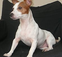 Mia-Gorgeous Jack Russell by DecorDiva