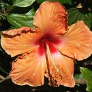 Hibiscus (4156) by ScenerybyDesign