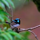 Superb Fairy-wren by Manfred Belau