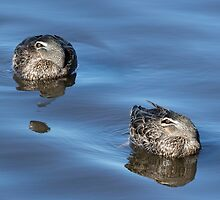 Pacific Black Ducks Resting by Sandra Chung