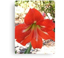 Lily (4241) Canvas Print