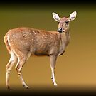 Deer by Charuhas  Images