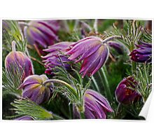 pasque flower 3 Poster