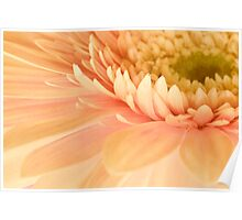 Gerbera Magic Poster