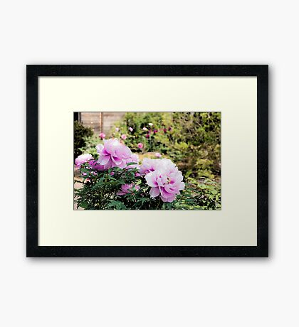 Pink flowers of Peony Framed Print