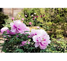 Pink flowers of Peony Photographic Print