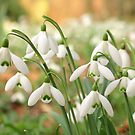 Snowdrops by roumen