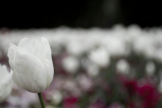 White Tulip by Michelle Lia
