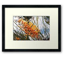flame grevillea Framed Print