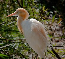 Cattle Egret in Breeding Plumage by Tom Newman