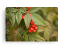 red holly1 Canvas Print