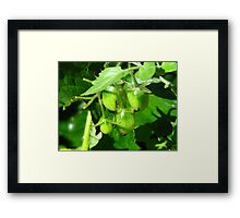 Who is eating the baby tomatoes? Framed Print