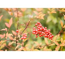 red holly berries4 Photographic Print