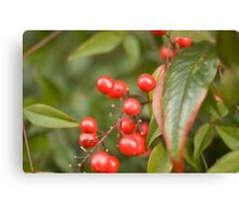 red holly berries5 Canvas Print
