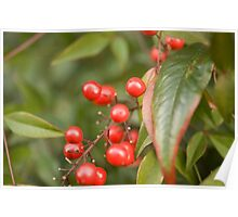 red holly berries5 Poster
