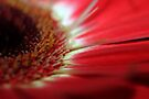 Red Gerbera by yolanda