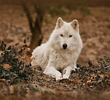 Wolf in Winter by Sandy Keeton