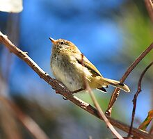 A little Thornbill by Jackie  Smith