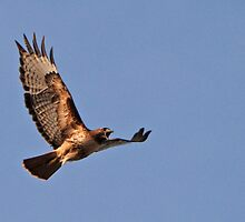 Screaming Hawk by Rodney55