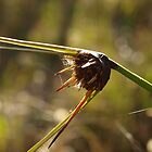 Semaphore Sedge by kalaryder