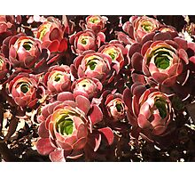 Succulent (4229) Photographic Print