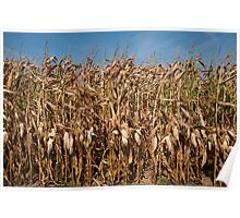 Corn stalks Poster