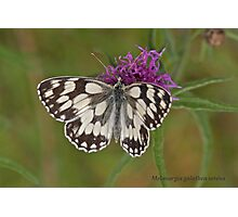 Marbled White butterfly Photographic Print