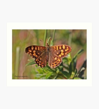 Speckled Wood butterfly Art Print