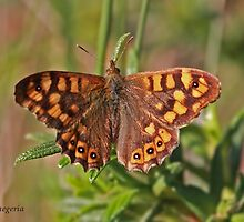 Speckled Wood butterfly by Hugh J Griffiths