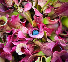 Pitcher plant by Jaime Pharr