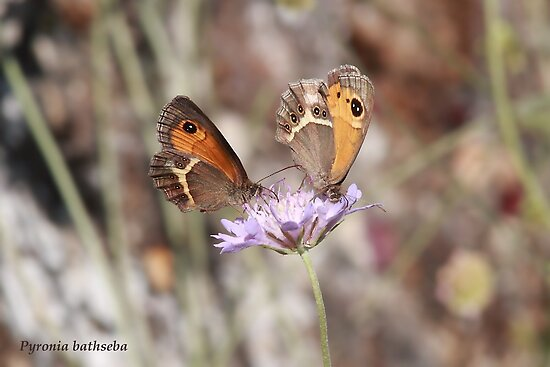 Spanish Gatekeeper butterflies by Hugh J Griffiths